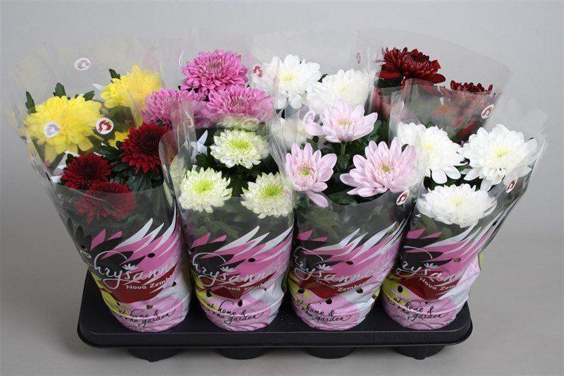 Гиппеаструм подробное описание фото цветов и семян растения